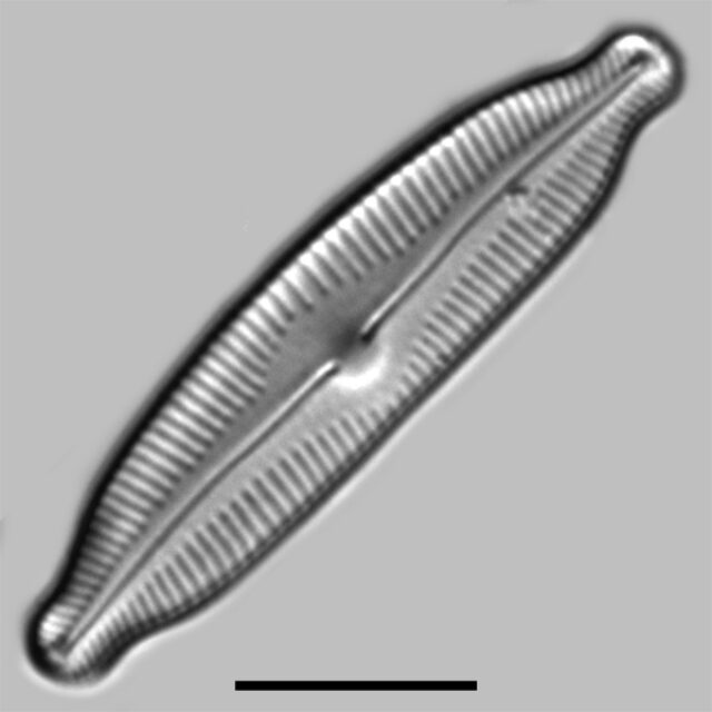 Cymbopleura Fluminea Iconic