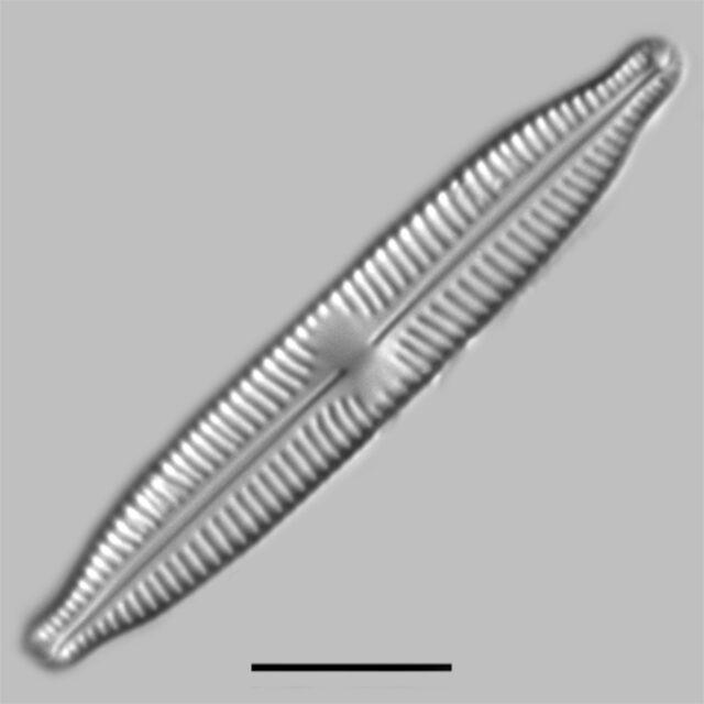 Cymbopleura Hybrida2 Iconic
