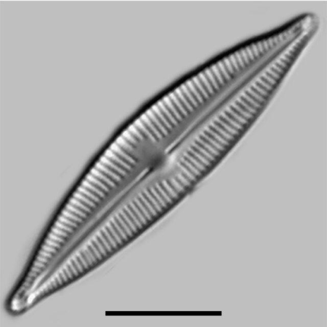 Cymbopleura Lapponica Iconic