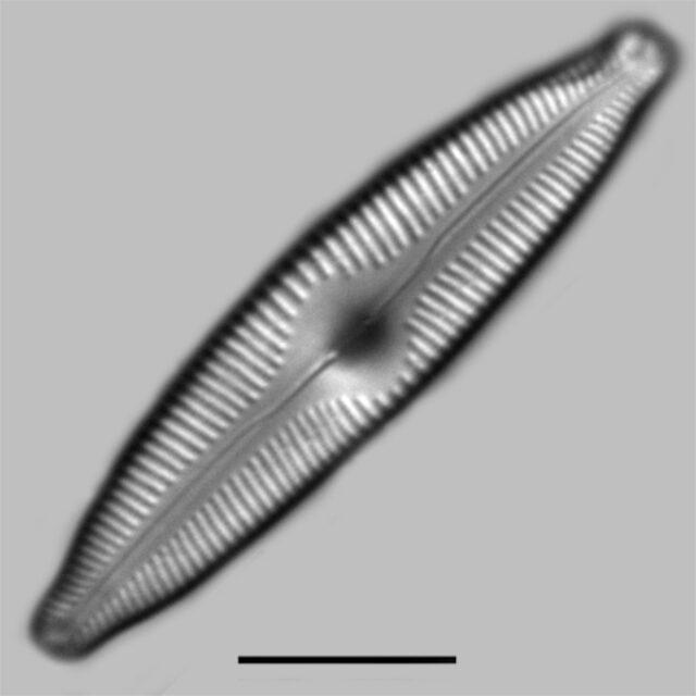 Cymbopleura Maggieae Iconic