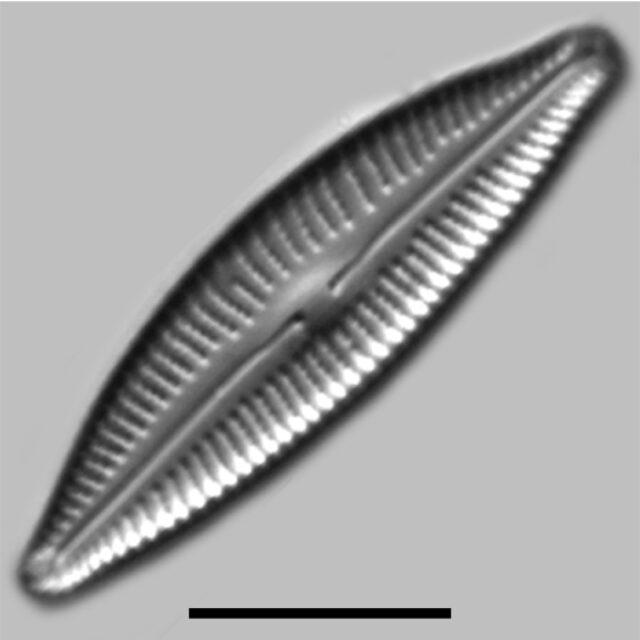 Cymbopleura Rupicola Iconic