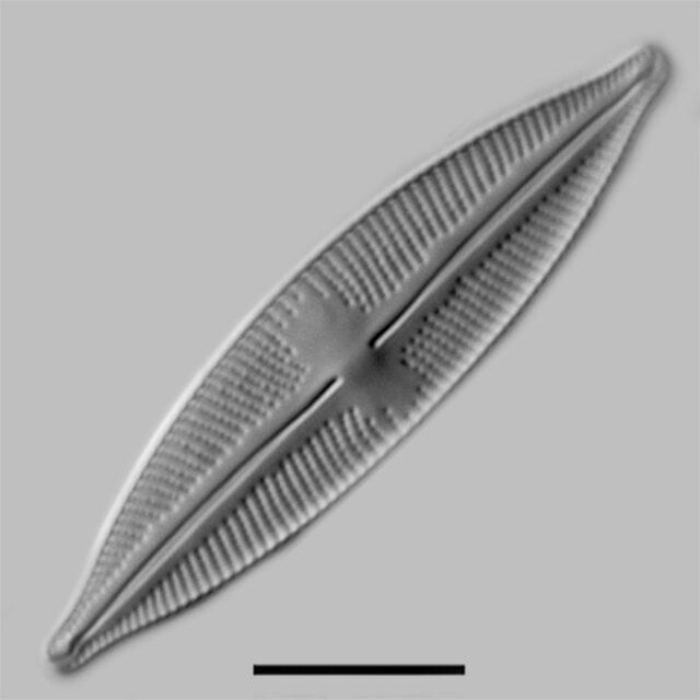 Cymbopleura stauroneiformis rev iconic