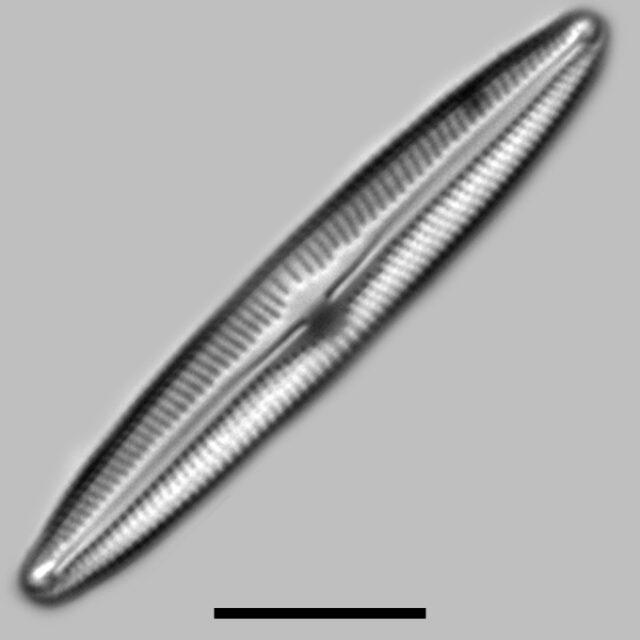 Cymboplura Incertoformis Laterostrata Iconic