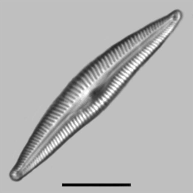 Delicata Delicatula Iconic