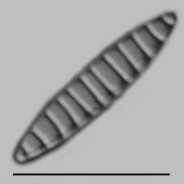 Denticula Subtilis Iconic