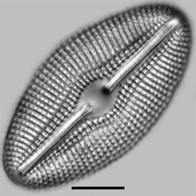 Diploneis Elliptica Iconic