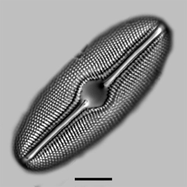 Diploneis mollenari iconic