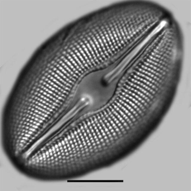 Diploneis Ovalis Iconic