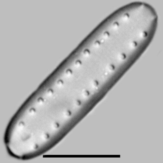 Diprora Hanaensis Iconic