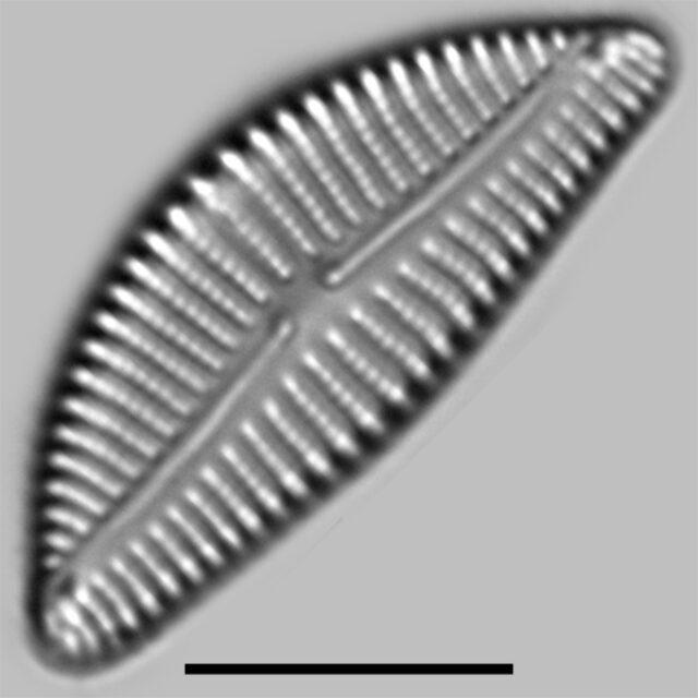 Encyonema Auerswaldi Iconic
