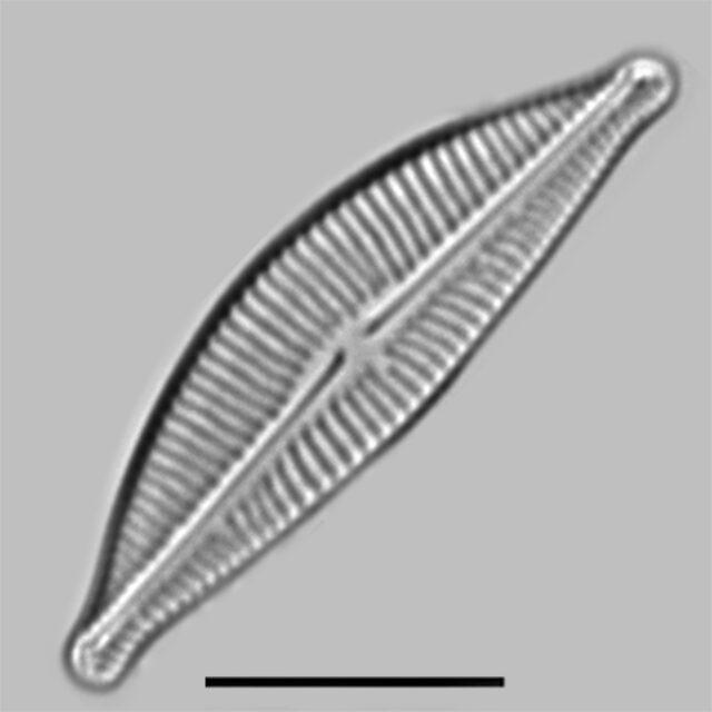 Encyonema Hamsheriae Iconic