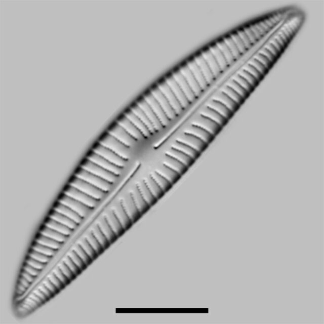 Encyonema Hebridicum Iconic