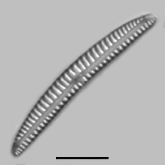 Encyonema Lunatum Iconic