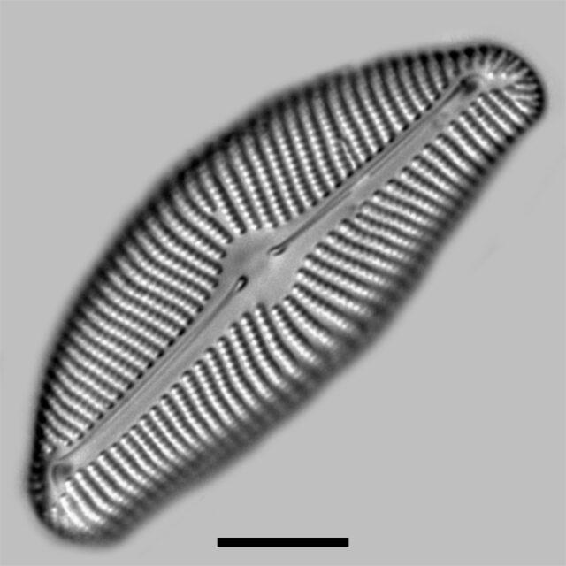 Encyonema Prostratum Iconic