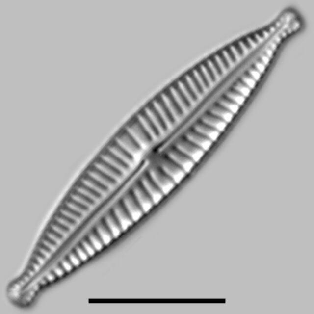 Encyonopsis Aequaliformis Iconic