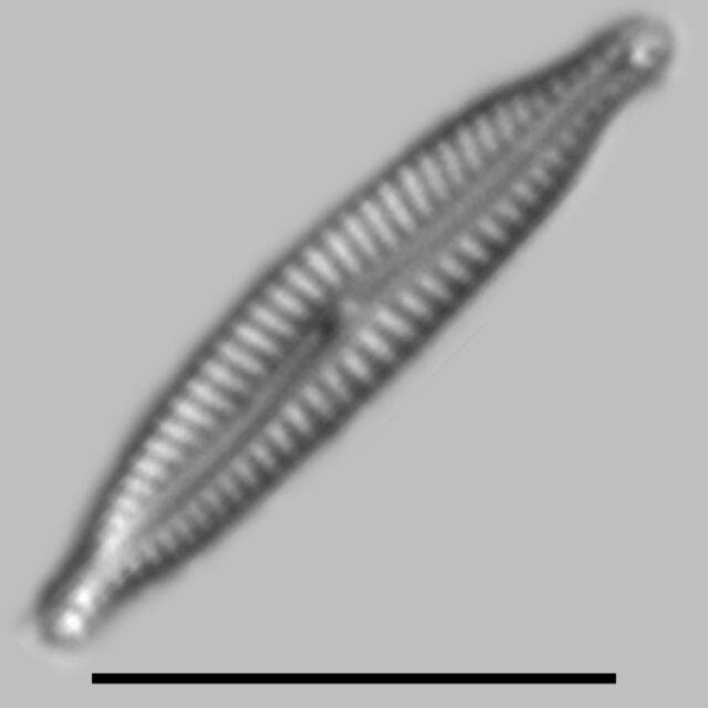 Encyonopsis Albertana Iconic