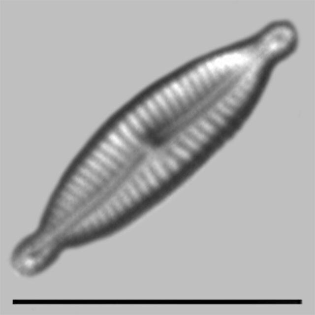 Encyonopsis Alpina Iconic