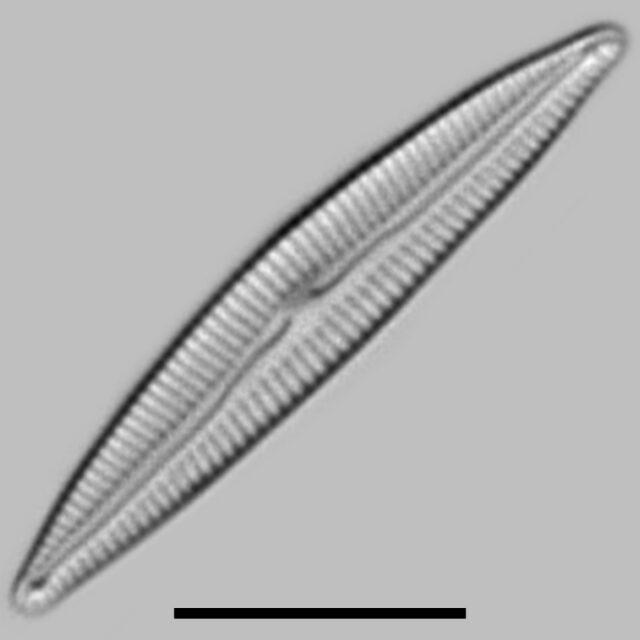 Encyonopsis Evergladianum Iconic