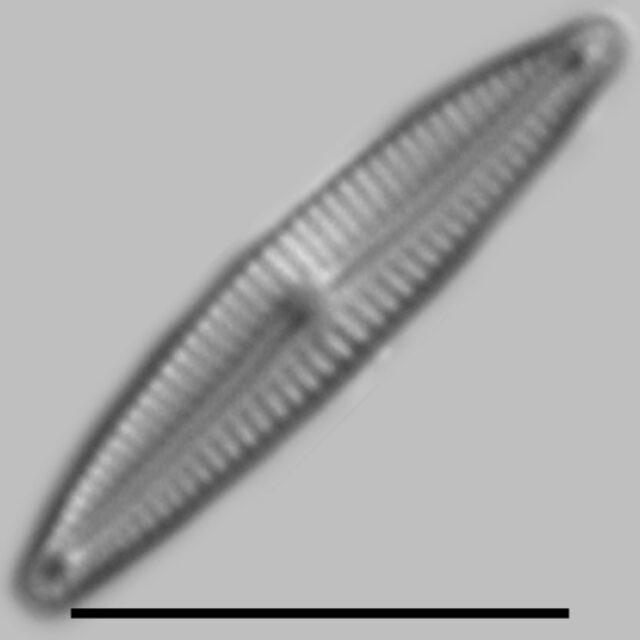 Encyonopsis Krammeri Iconic