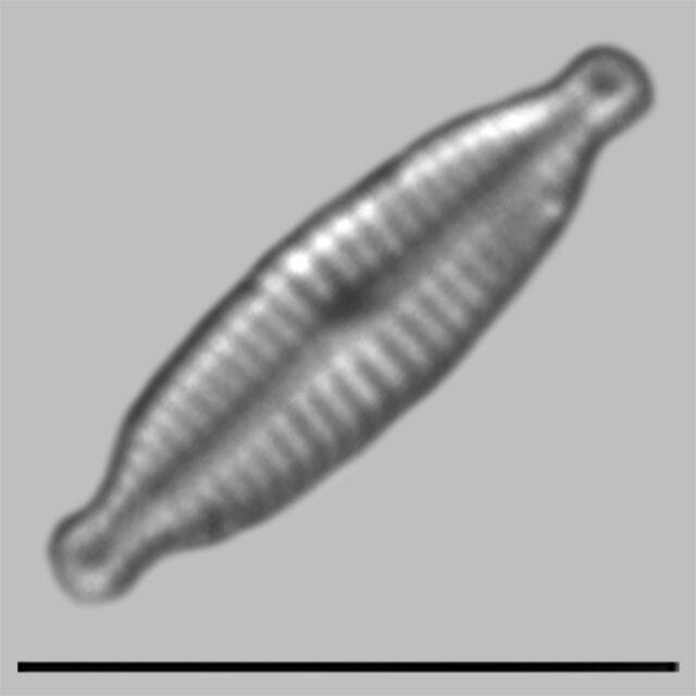 Encyonopsis Lacusalpini Iconic