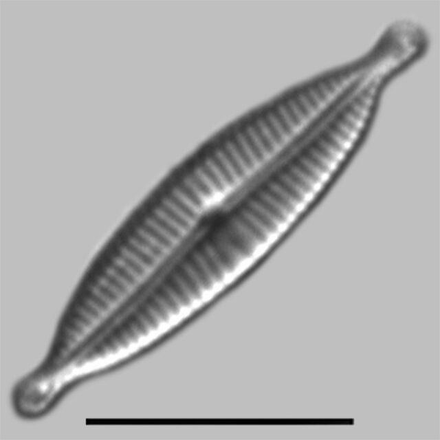 Encyonopsis Medicinalis Iconic