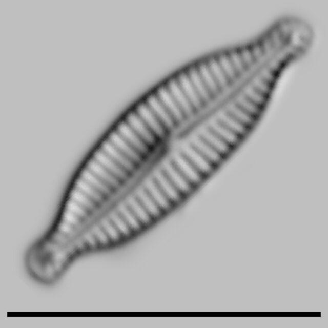 Encyonopsis Microcephala Iconic