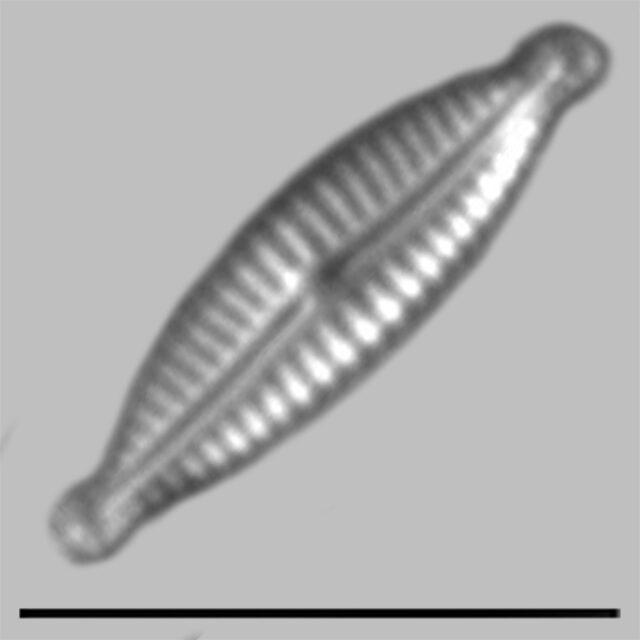 Encyonopsis Minuta Iconic