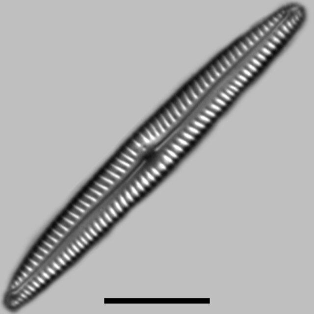 Encyonopsis Neoamphioxys Iconic