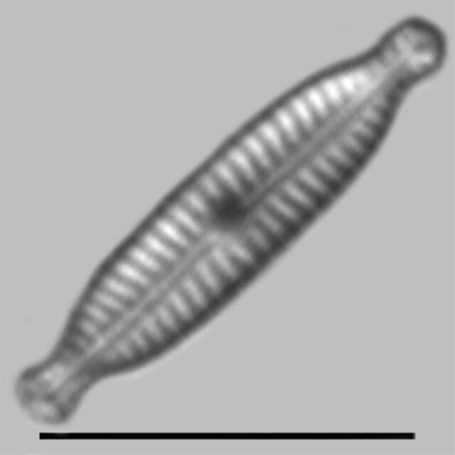 Encyonopsis Robusta Iconic