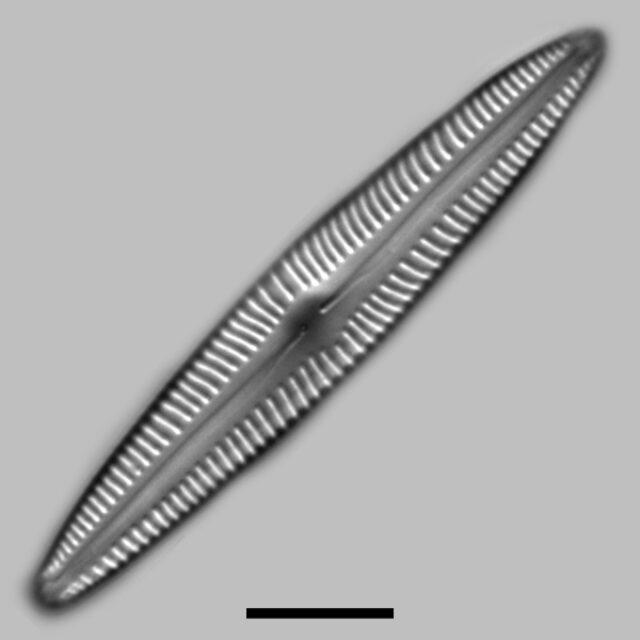 Encyonopsis Stodderi Iconic