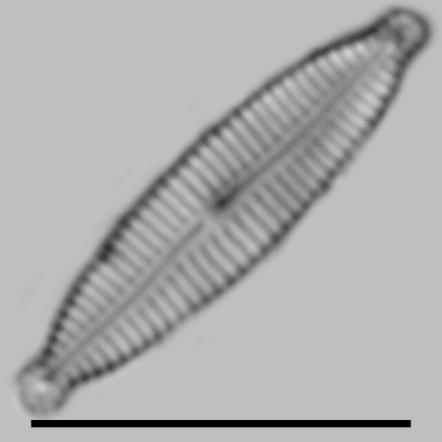 Encyonopsis Subminuta Iconic