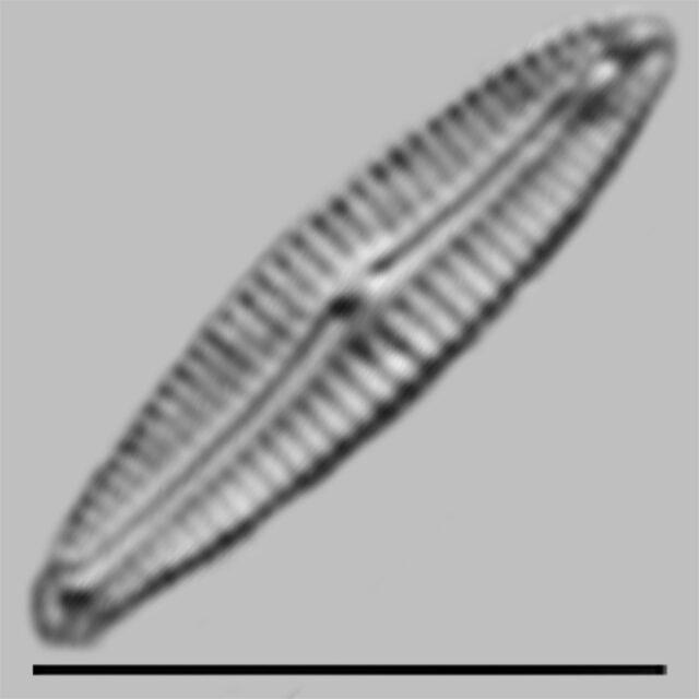 Encyonopsis Thumensis Iconic