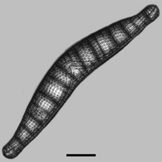 Epithemia Alpestris Iconic