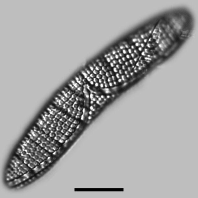 Epithemia Argus Iconic