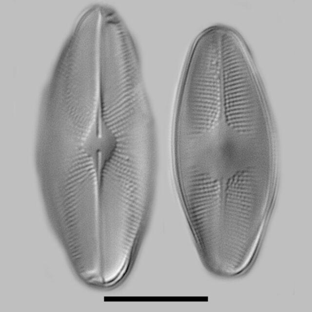 Eucoccoeis Flexella Iconic