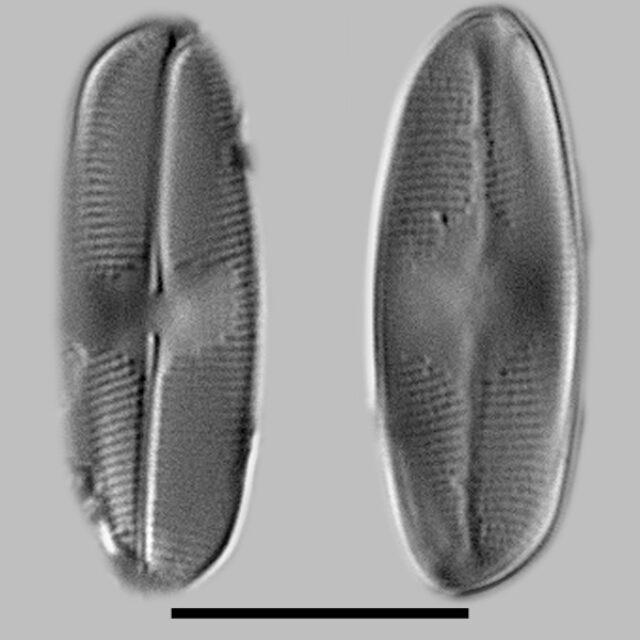 Eucocconeis Alpestris Iconic