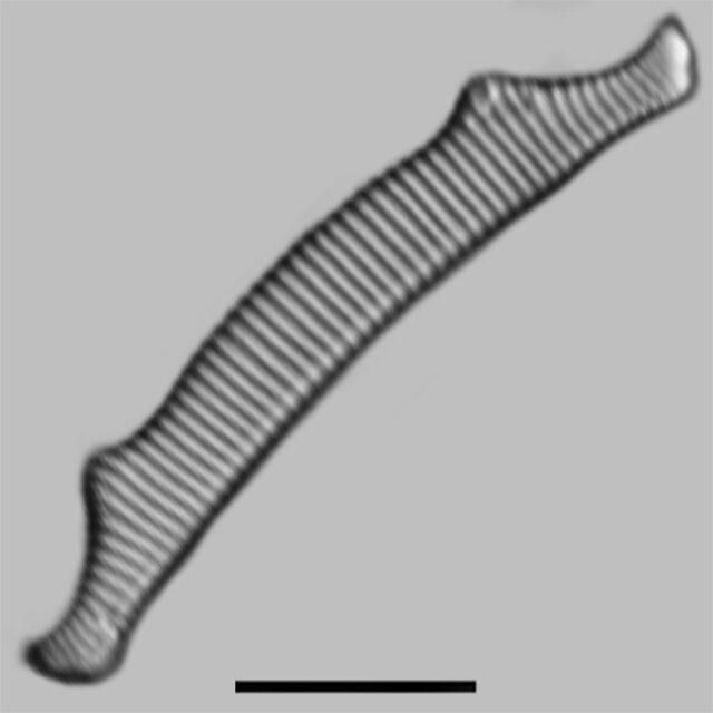 Eunotia Bactriana Aac