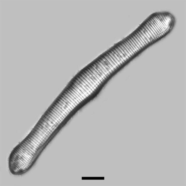 Eunotia Formica Iconic