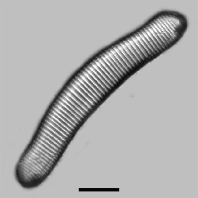 Eunotia Monodon Iconic