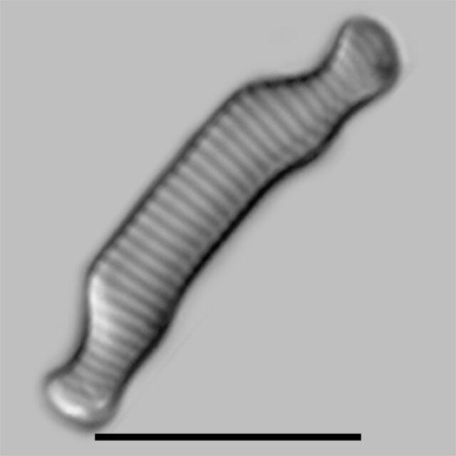Eunotia Orthohedra Iconic
