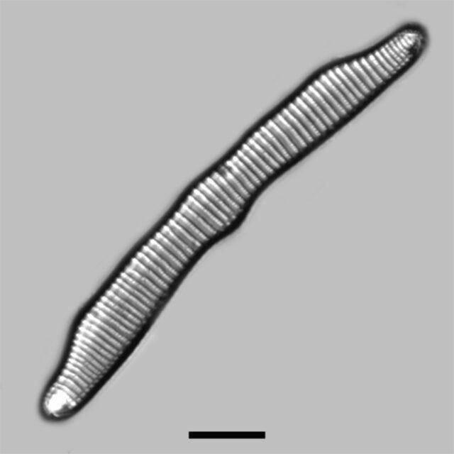 Eunotia Pectinalis Iconic