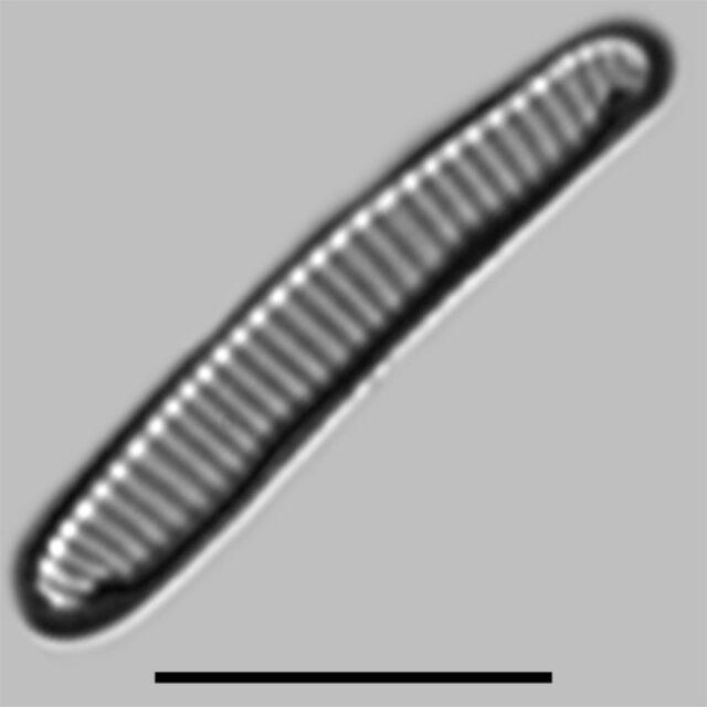 Eunotia Rhomboidea Iconic