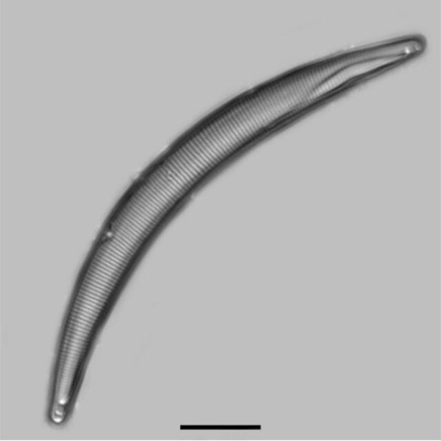 Eunotia Sarraceniae Iconic