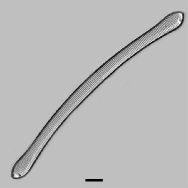 Eunotia Tautoniensis Iconic