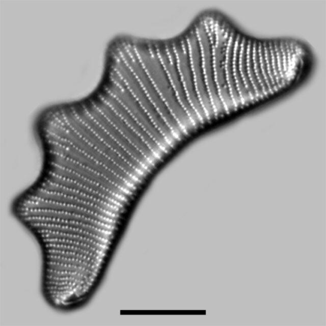Eunotia Tetraodon Iconic