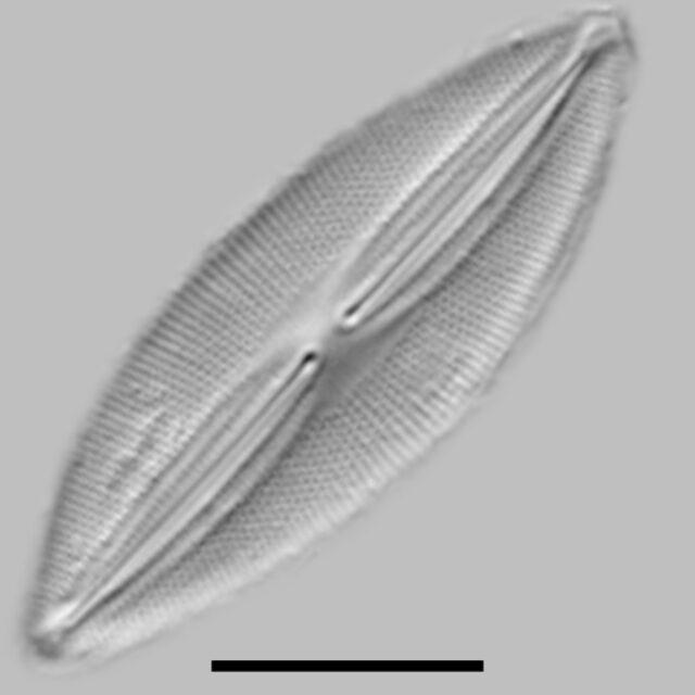 Fallacia Pygmaea Aac