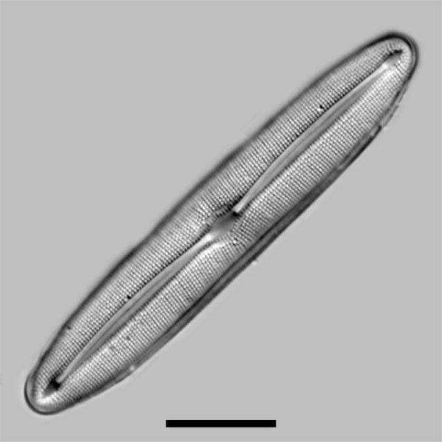 Frustulia Asiatica Iconic