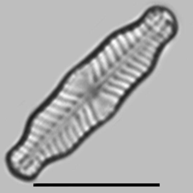 Geissleria Ignota Iconic