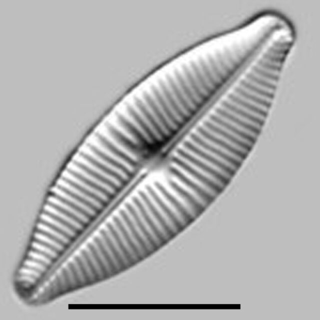 Geissleria Lateropunctata Aac