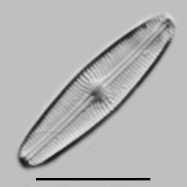Genkalia Digitulus Iconic